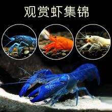 包邮观赏虾淡水活bj5大型冷水ou蓝魔鳌虾草缸宠物火山破坏者