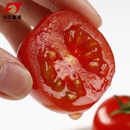 中农圣女果新鲜现摘小番茄儿童水果孕妇西红柿有机包邮5斤