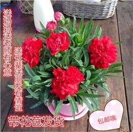 康乃馨鲜花苗盆栽礼物室内阳台庭院四季花卉植物带花苞含盆包邮