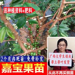 嘉宝果苗台湾进口嘉宝果树苗名贵水果盆栽果苗树葡萄苗南北方种植