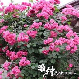 月季安吉拉丰花欧月多季花园庭院阳台盆栽地栽花卉花苗藤本月季