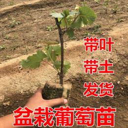 葡萄树苗 葡萄苗 爬藤果树苗盆栽地栽苗南方北方种植带叶带土发货