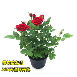 玫瑰花盆栽带花苞好养的花开花不断欧月藤本月季花苗花卉鲜花盆栽