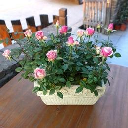 微型玫瑰 迷你钻石宝石玫瑰 小盆型玫瑰花  盆栽花带花带土