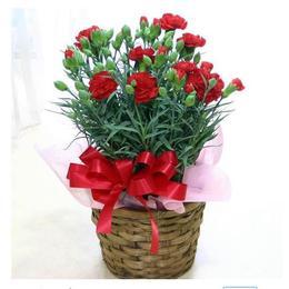 康乃馨盆栽花卉室内带花苞客厅办公桌花草鲜花净化空气观花植物