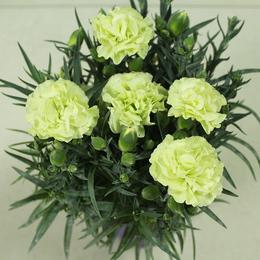 四季花卉鲜花绿植进口康乃馨带花带花苞盆栽节日礼物精品康乃馨