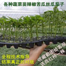 阳台蔬菜苗种苗五彩椒/辣椒/朝天牛椒角椒苗苦瓜苗长茄子苗丝瓜苗