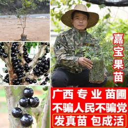嘉宝果苗台湾四季早生嘉宝果树苗树葡萄苗南方北果树苗盆栽