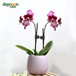 鲜花植物迷你蝴蝶兰盆栽桌面办公室鲜花开花带花苞花期久栽包邮好