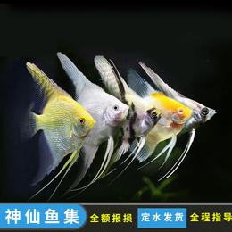 红头玻璃神仙鱼观赏鱼活体热带鱼燕鱼活体观赏鱼七彩神仙配鱼包邮