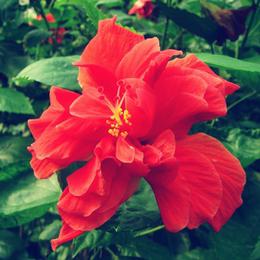 重瓣扶桑花 木槿 小苗带花苞发货 花期长植物 花园 阳台美观