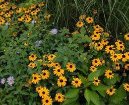 花园宿根 黑心金光菊Rudbeckia hirta L. 盆栽苗(刚刚发芽)