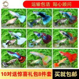 观赏鱼热带鱼孔雀鱼活体凤尾鱼鱼苗纯种小型淡水练手鱼水族宠物鱼