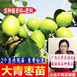 台湾大青枣树苗蜜丝枣苗阳台庭院果树嫁接树枣子苗当年结果包成活