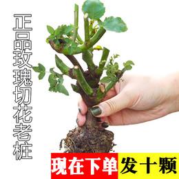 19.8元5颗玫瑰花苗四季室内阳台月季蔷薇盆栽爬藤花卉观花植物