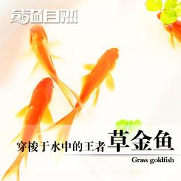 奇溢自然 鱼缸观赏鱼小金鱼红草鱼草金鱼冷水鱼宠物活体 红鲤鱼
