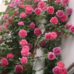 欧月藤本月季玫瑰蔷薇花苗爬藤植物花卉多季开花盆栽耐寒花卉耐热