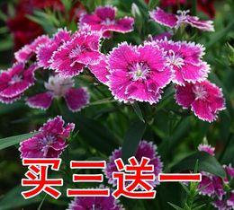 阳台室内盆栽母亲节礼物 康乃馨鲜花苗盆栽石竹花苗带花苞绿植物