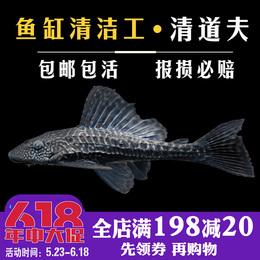 【光合水族】清道夫鱼活体 鱼缸清洁工具鱼小型热带观赏鱼金苔鼠