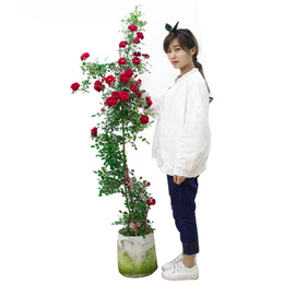 1.5米高藤本月季花苗盆栽植物蔷薇花苗爬藤大花四季浓香型带花