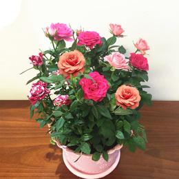玫瑰花苗大花绿植物盆栽室内外客厅花卉观花月季牡丹蔷薇庭院阳台