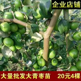 包邮台湾大青枣树苗嫁接苗牛奶枣四季冬枣盆栽水果苗南方种植