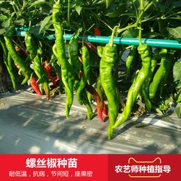 巨型陇椒种苗 大螺丝椒龙椒辣椒苗 农家基地四季种植高产蔬菜苗