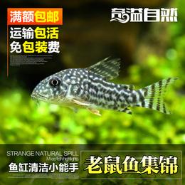 奇溢自然 观赏鱼活体鱼粮老鼠鱼熊猫鳅清道夫宠物热带鱼活体饲料