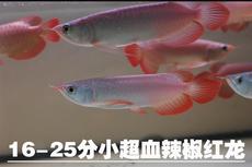 发色大红龙 印尼紫嫣纯血红龙辣椒超血红龙鱼过背金龙鱼苗活体观