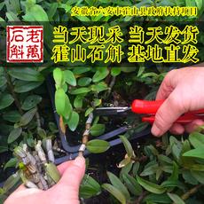 【老万石斛】三年特级霍山铁皮石斛鲜条霍山石斛枫斗仿野生种植