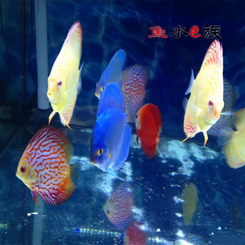 热带鱼七彩神仙鱼天子蓝雪玉红鸽子黄仙红松石蓝松红富士活体观赏