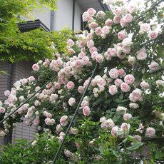 欧洲爬藤月季进口爬藤玫瑰藤本月季苗庭院阳台爬藤植物多花蔷薇苗