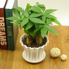 发财树盆栽室内绿植花卉植物办公室桌面盆景防辐射送礼摇钱招财树