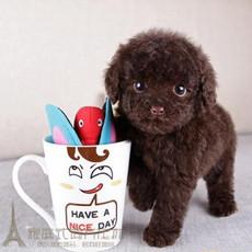 家养健康更放心自家宝贝犬棕色巧克力玩具型泰迪幼犬活体宠物狗8