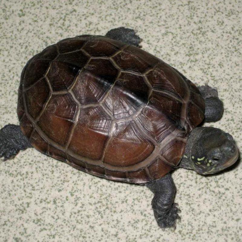 精品草龟 外塘大乌龟活体宠物墨龟金线龟招财野乌龟活体野生淡水