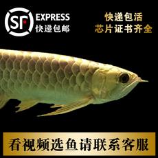 纯种24K小金头过背蓝底B级高背金龙鱼红龙鱼活体鱼苗热带鱼观赏鱼