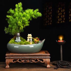 蓬莱松盆栽净化空气绿色盆景植物室内四季常青客厅生肖猴年小花卉