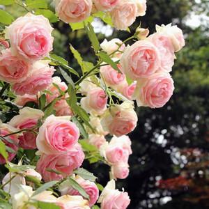 藤本月季苗蔷薇花苗 爬藤植物盆栽欧月 玫瑰绿植 庭院爬藤蔷薇苗