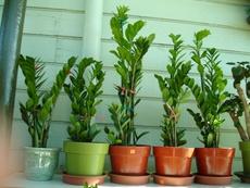 新房盆栽 金钱树 摇钱树 室内客厅 大型绿植盆栽 盆景花卉 植物苗