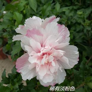 庭院阳台盆栽植物花卉【重瓣木芙蓉】花苗木槿大苗