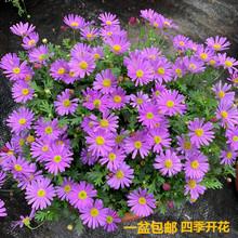 姬(小)菊36栽花苗窗台67季开花不断植物易爆盆多年生姬(小)菊花