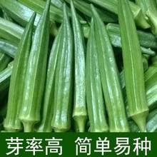 黄秋葵种子羊角葵种孑高产水果6811葵种籽cp蔬菜种阳台庭院