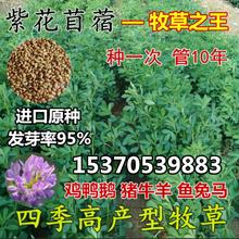 紫花苜蓿草种子牧草种子南北方多年ad13四季高nn鸭鹅鱼草籽