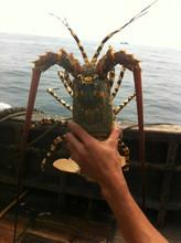 海之鲜ai 大(小)龙虾ua虾澳洲龙虾澳龙 花龙野生海捕鲜活龙虾1000