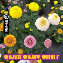 盆栽带al鲜花笑脸菊ar彩缤纷千头菊荷兰菊翠菊球菊真花