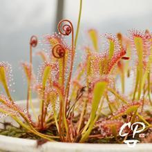 食虫植am0盆栽巢型el虫草食的花种子室内吃虫驱蚊草