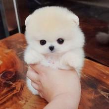 活体长不大博美幼犬 an7杯杯子(小)ro(小)狗狗可爱包纯种宠物
