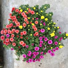 千头盆aq阳台庭院球po多头菊四季开花带花苞发货包邮