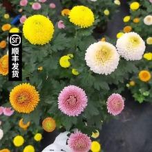 盆栽带at鲜花笑脸菊pi彩缤纷千头菊荷兰菊翠菊球菊真花