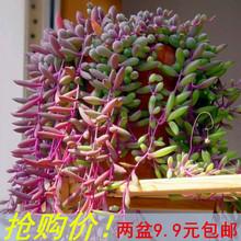 紫弦月au肉植物紫玄ib吊兰佛珠花卉盆栽办公室防辐射珍珠吊兰